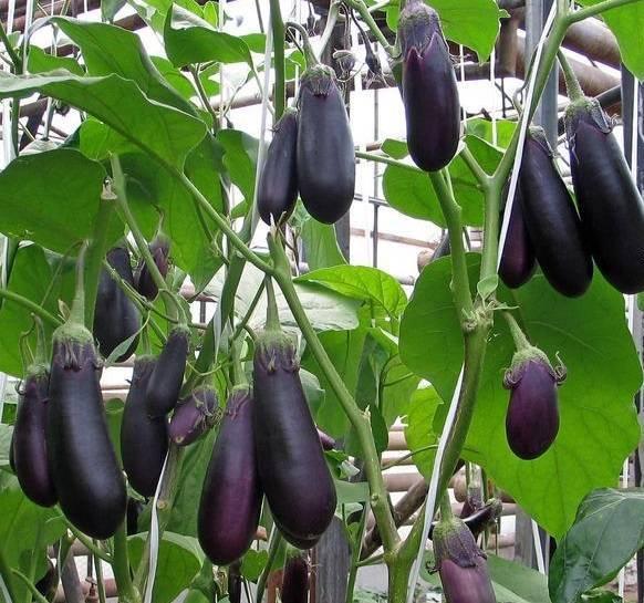 Выращивание баклажанов в теплице из поликарбоната: подбор лучшего сорта, уход и подкормка
