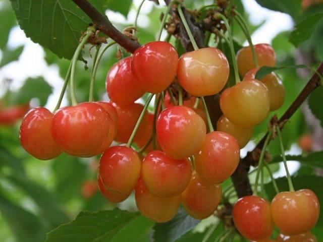 Черешня сюбаровская — описание сорта, фото, отзывы садоводов