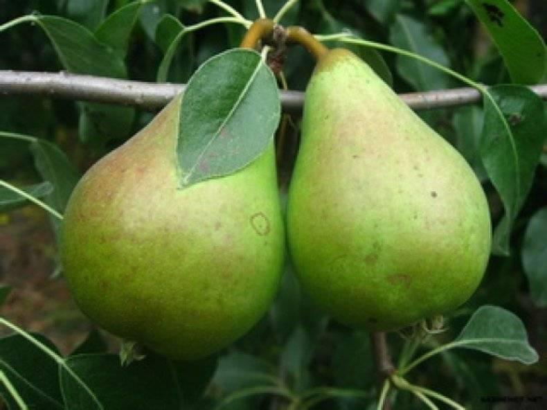Характеристика груш сорта бере