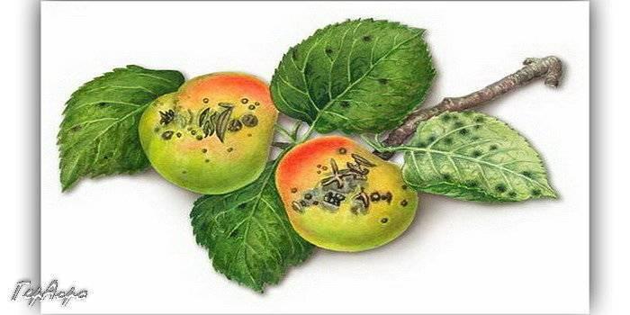 Как лечить грушу от заболевания «парша»?
