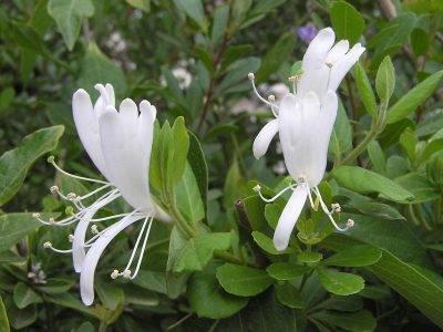 Голубика: соседство с другими растениями, с какими дружит и какие сажать рядом нельзя