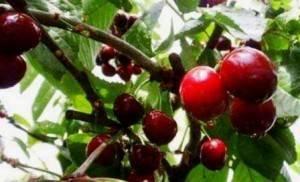Крыжовник кооператор: характеристика, особенности выращивания и размножения