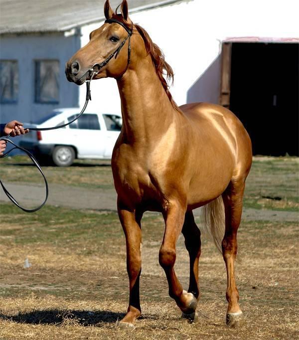 Лошади будённовской породы: описание, особенности разведения в домашних условиях