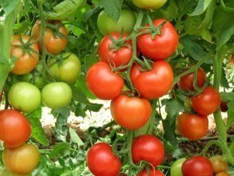 """Томат """"никола"""": характеристика и описание сорта, фото помидоров и особенности выращивания"""