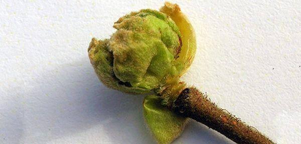 Смородина зеленая дымка