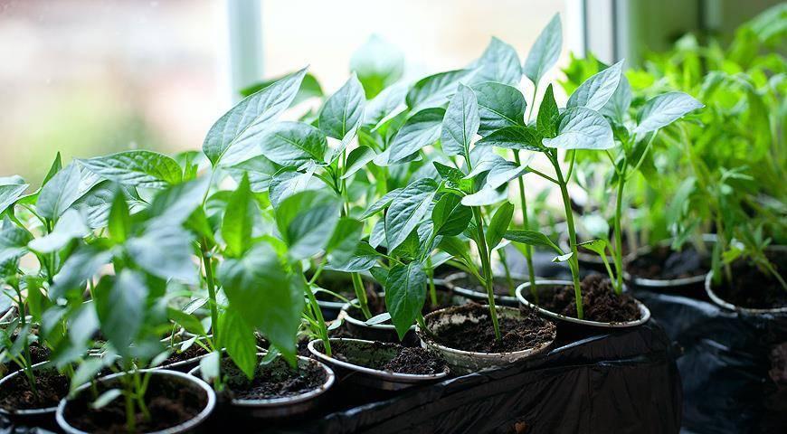 Рассада перца — подготовка семян, посев и выращивание
