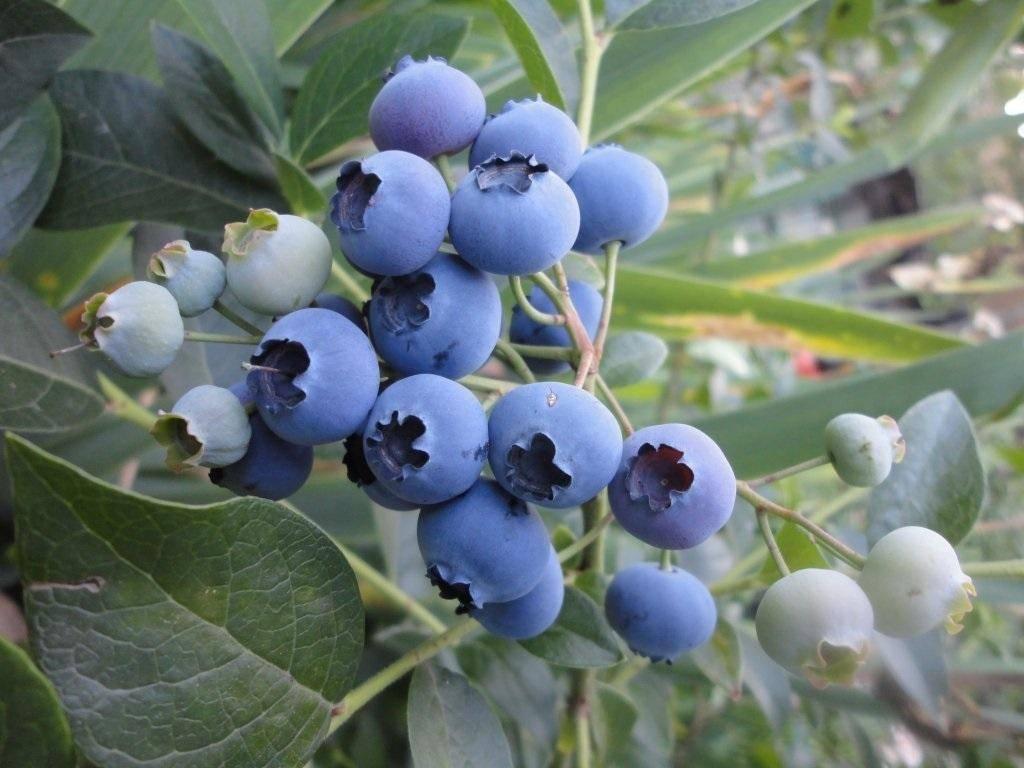 Голубика голубая урожайная описание сорта