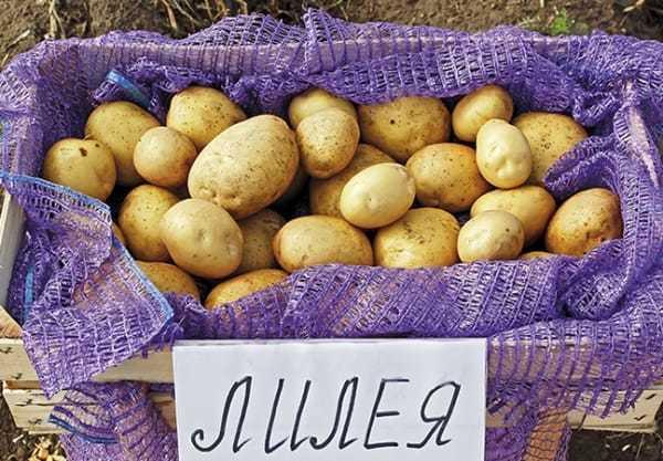 Неприхотливый сорт картофеля «фелокс»с отменным вкусом