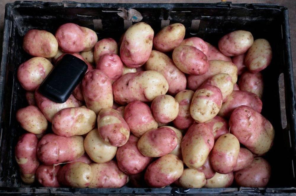 Картофель сорт иван да марья описание