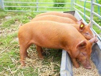 Корм для свиней purina: особенности выбора и применения