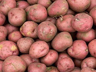 Преимущества картофеля беллароза: описание сорта, фото
