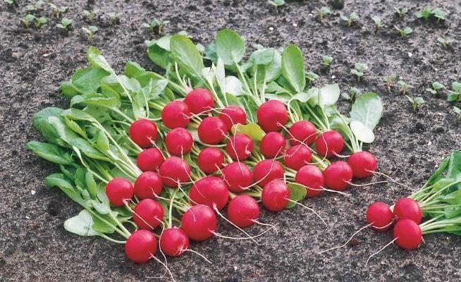 Редис мечта алисы f1: описание сорта, фото, отзывы, выращивание