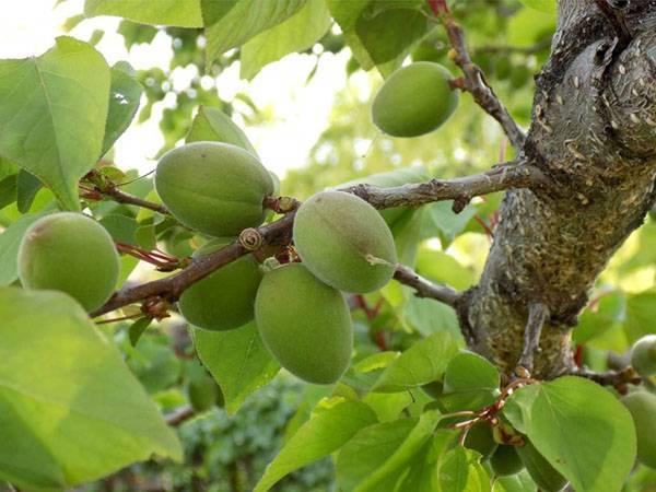 Чёрный абрикос разных сортов: стабильный урожай и интересный вкус