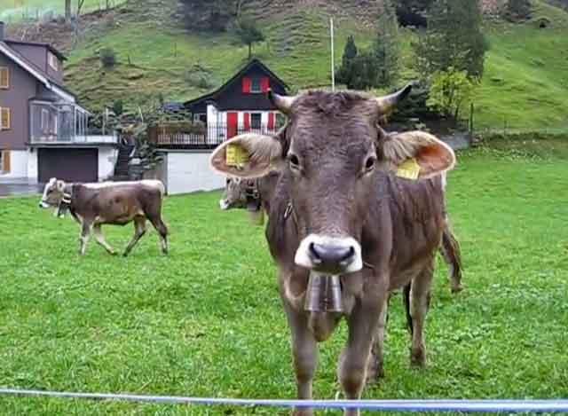 Симптомы и методы лечения атонии преджелудков у коровы