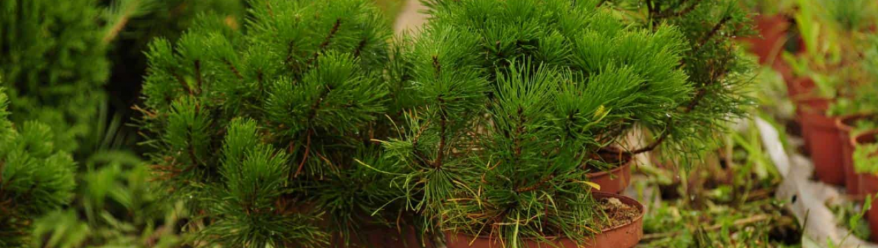 Строение сосны. размножение, опыление, строение шишек и семян сосны