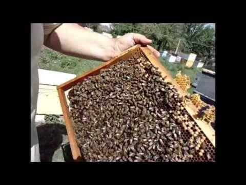Отводки пчел: советы начинающим пчеловодам