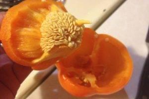 Как получить семена перца