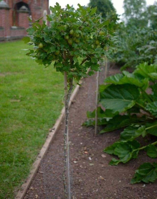 Уход и выращивание крыжовника в домашних условиях