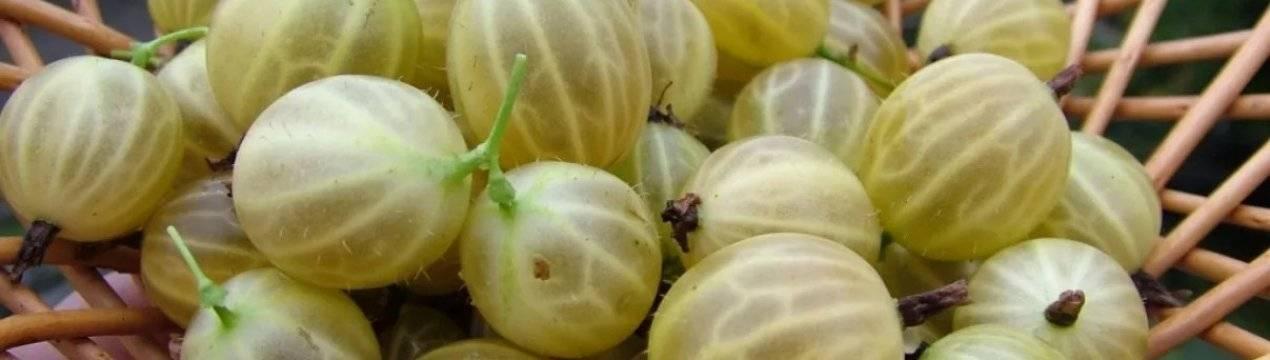 Все о сортах бесшипного крыжовника: посадка и уход за растением без шипов