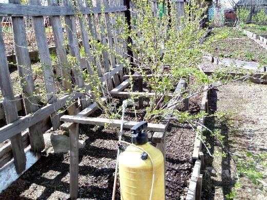 Обработка смородины весной нашатырным спиртом