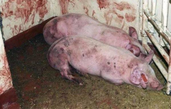 Все о болезнях свиней: симптомы, вид животных, лечение, препараты и дозировки