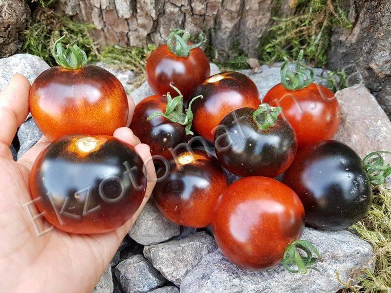 Томат индиго роуз — описание сорта, отзывы, урожайность