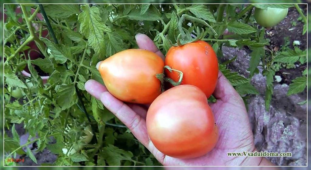 Высадка рассады помидор в теплицу: когда и как высаживать, сроки, время, благоприятные дни, пошаговая инструкция с фото и видео, схема посадки, подготовка грунта