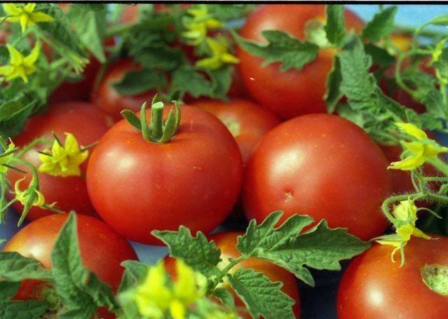 Описание и характеристики лиановидных сортов томатов