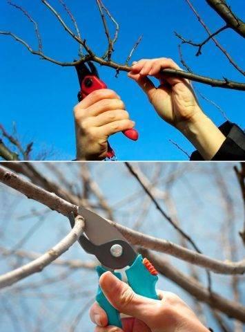 Особенности выращивания сорта груши аббат