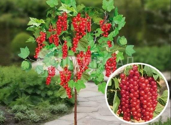 Смородина красная йонкер ван тетс — основные характеристики сорта