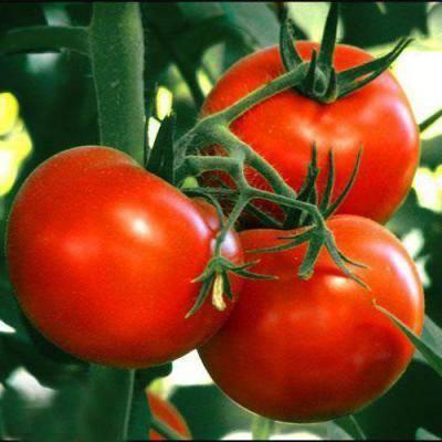 Описание томата бони мм: срок созревания, урожайность, назначение сорта