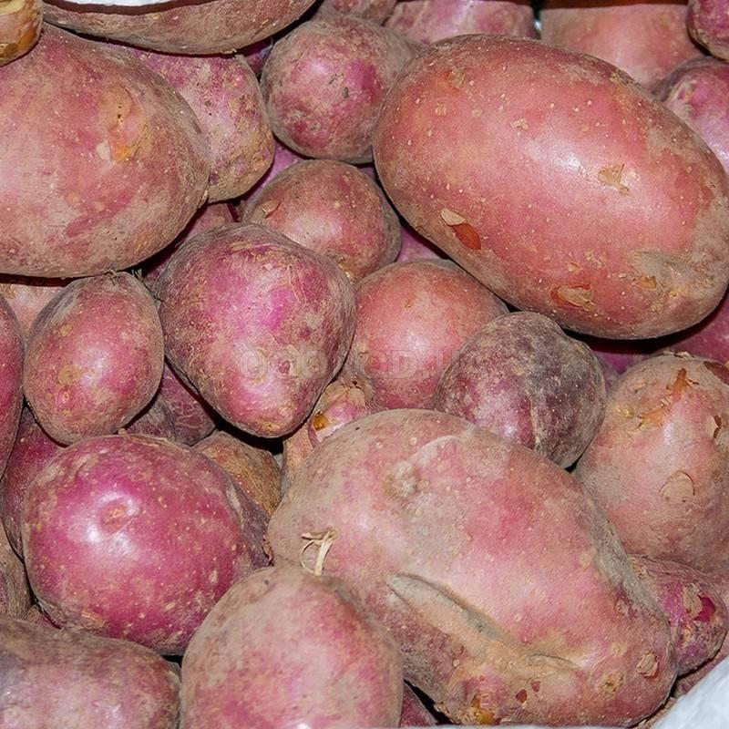 Картофель журавинка: характеристика сорта, особенности выращивания, сроки созревания