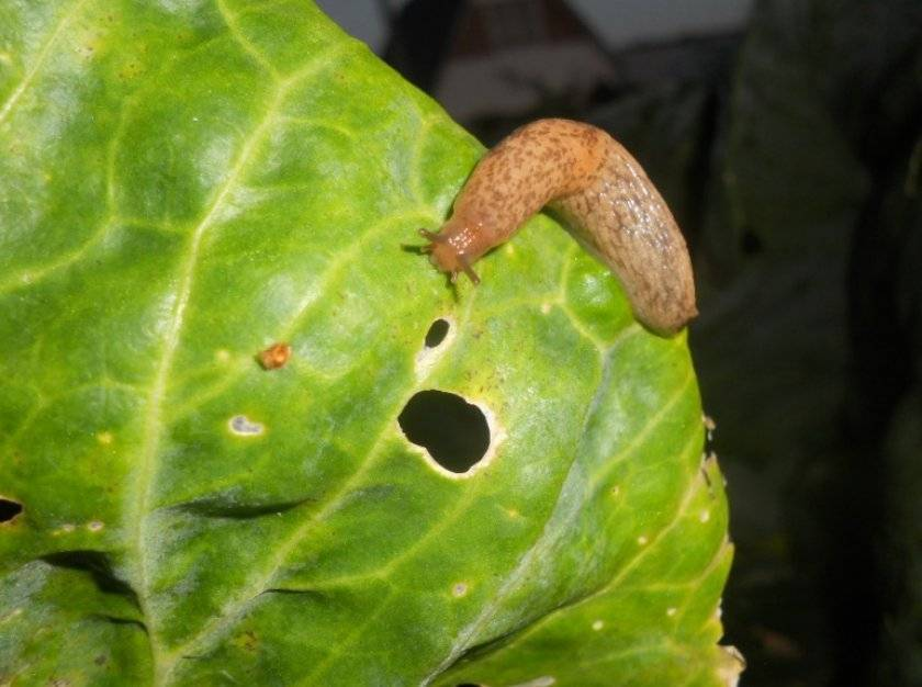 Как бороться с вредителями и болезнями капусты?