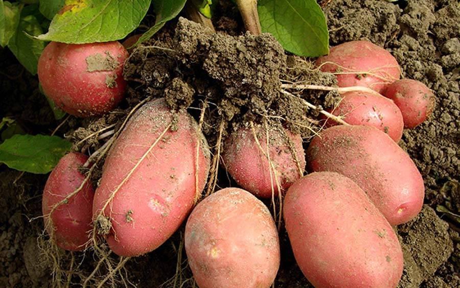 Описание сорта картофеля розара