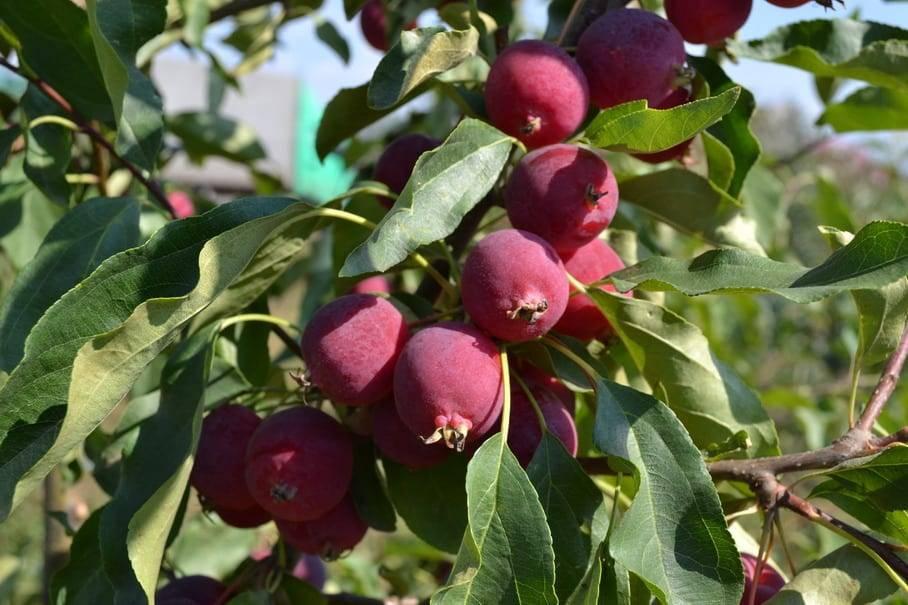 Яблоня «бельфлер-китайка»: описание сорта, фото и отзывы