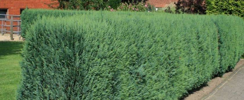 Виды живых изгородей и их фото: лучшие живые изгороди на даче из кустарников и хвойных растений