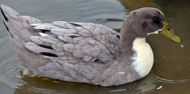 Голубой фаворит: все о разведении утки и уходе за ней