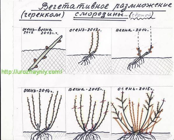 Размножение черной смородины черенками: инструкция