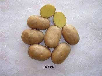 Описание сорта картофеля аврора