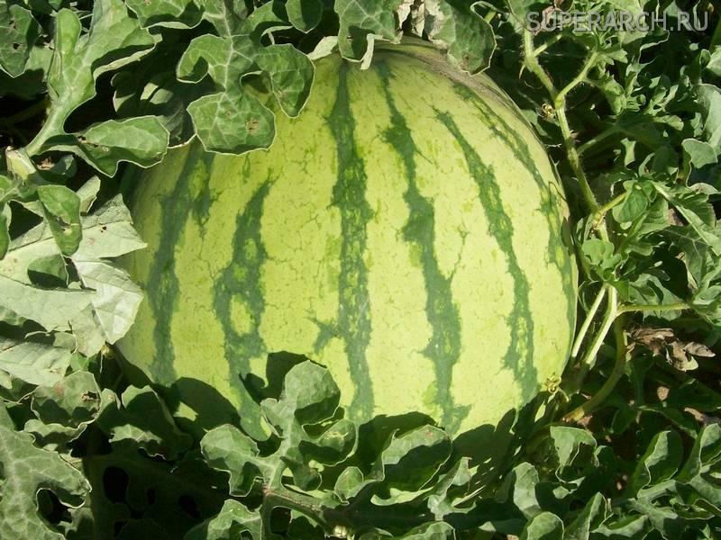 Арбуз в теплице: правила посадки, ухода и сбора урожая