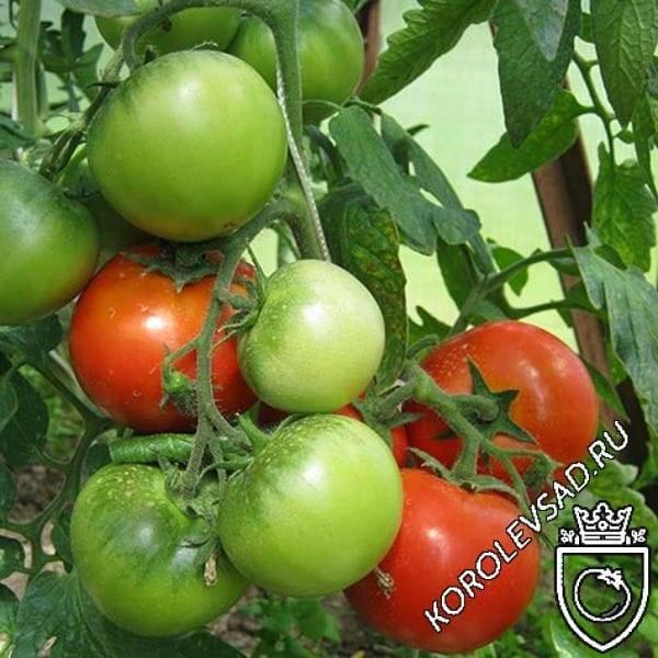 """Томат """"толстый джек"""": описание сорта и фото, характеристики помидоров и рекомендации по выращиванию"""