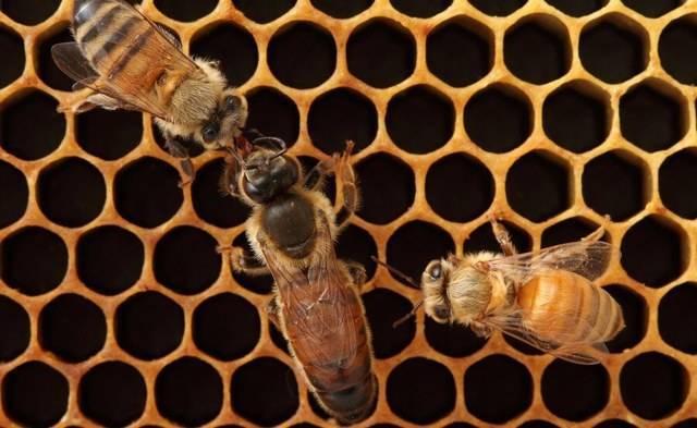 Как правильно вывести матку пчелы? видео