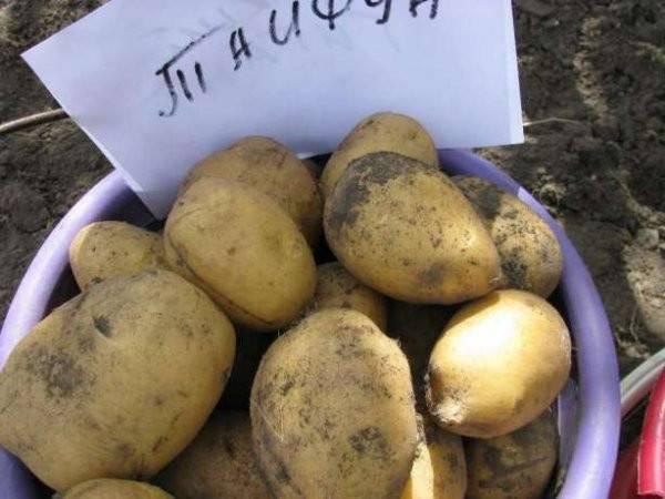 Картофель лабадия: описание сорта, фото, отзывы, вкусовые качества, уход