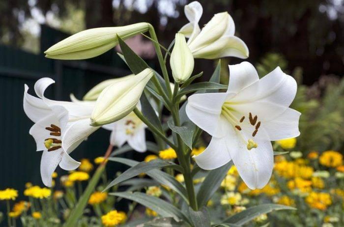 Популярные луковичные цветы для сада