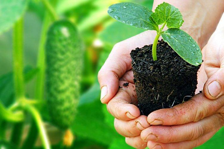 Горшочки торфяные: как пользоваться? выращивание рассады в торфяных горшочках