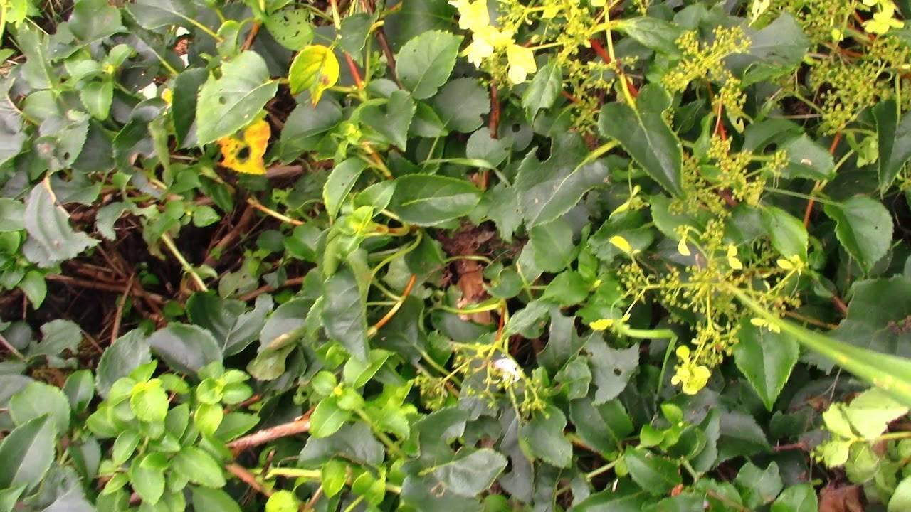 Гортензия черешковая или плетистая, вьющаяся лиана