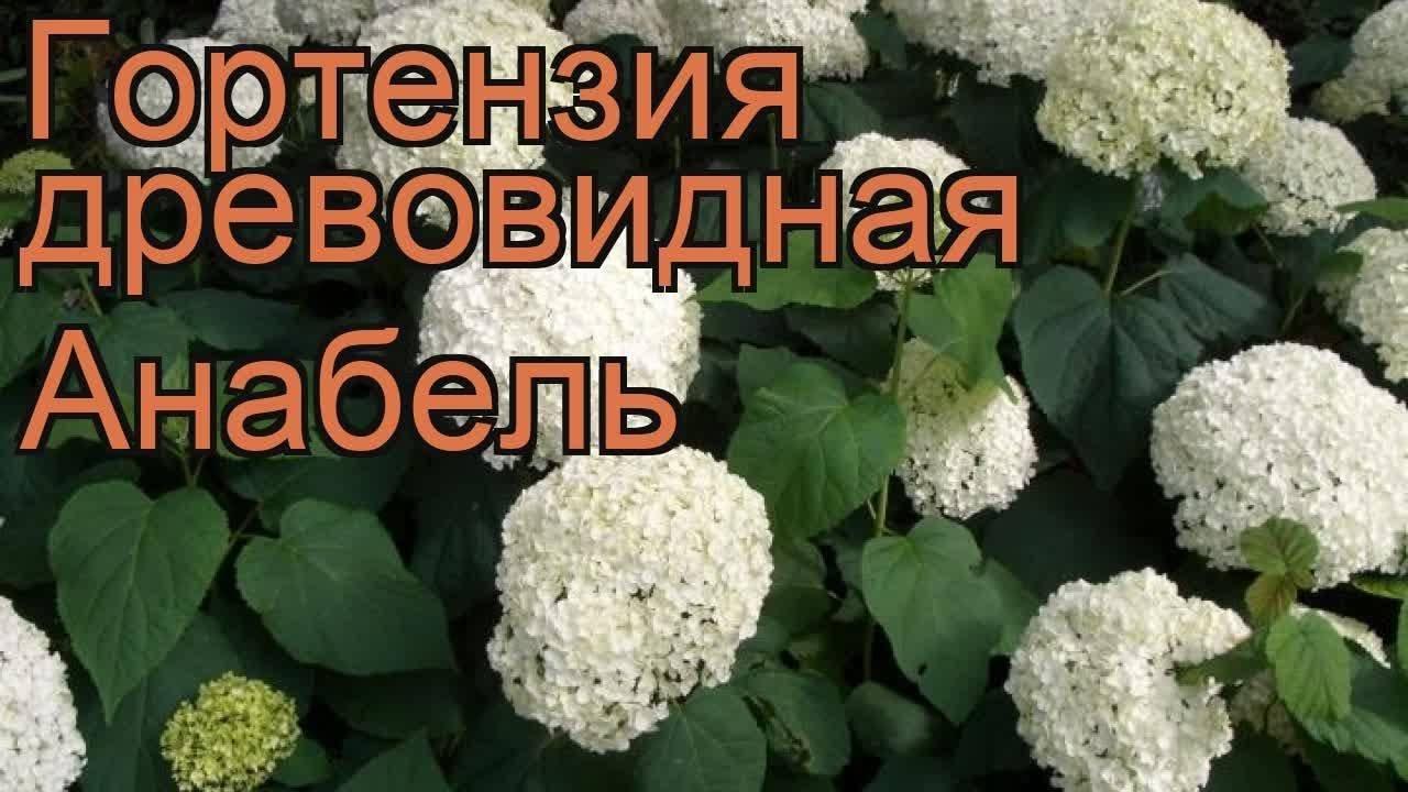 Гортензия древовидная аннабель – белоснежное украшение вашего участка
