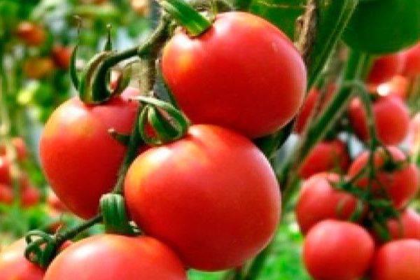 """Томат """"золотой король"""": описание характеристик сорта, рекомендации по выращиванию отличного урожая помидор"""