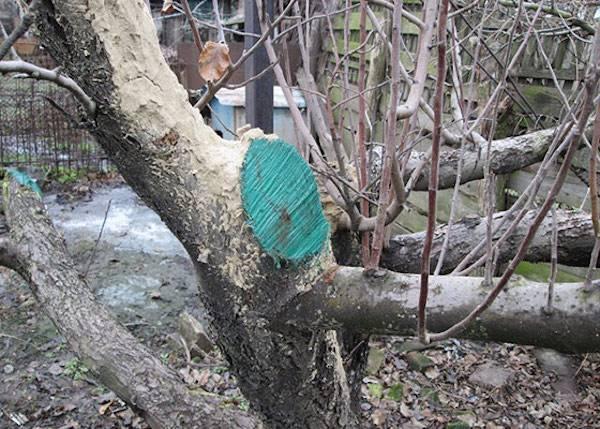 Как сделать болтушку для деревьев. секреты опытных садоводов: чем замазать спил на яблоне. советы по лечению коры. стоит ли обмакивать корни садовых растений при посадке в болтушку из глины