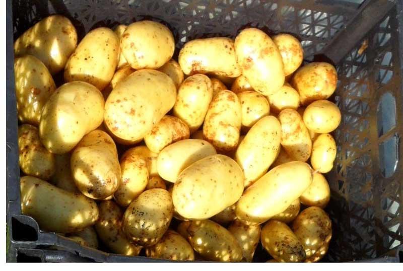 Сорт картофеля «латона»: характеристика, описание, урожайность, отзывы и фото